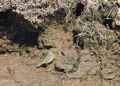 Possibly a pipit (Norfolkbookworm) Tags: cleynextthesea morston birds marsh