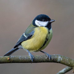 DSC_6519.jpg (dan.bailey1000) Tags: bird greattit wildlife