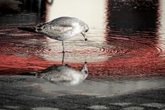 DSC00513 (Joe Magar) Tags: baltimore gulls birds