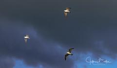 Flock of Gulls- (Jeffrey Balfus (thx for 4 Million views)) Tags: sonyalpha sonya9mirrorless sonyilce9 fullframe emountsony100400mmg sal100400f35g photoshop