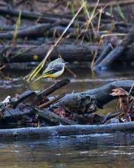 Prachtig om te zien hoe de Gele Kwikstaart over het water scheert. (d50harry123) Tags: gelekwikstaart kwikstaart watervogel water mooievogel vluegen sigma sigma100400 nikonnl nikon d300s natuur natureandanimalsnl natuurfotografie wildlife wildlifephotographer wildedieren bekendellle winterswijk woold harrykramer