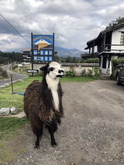Chasqui (fordc63) Tags: mountain mountains volcano volcanic geology cotopaxi ecuador southamerica latinamerica andes andesmountains inca culture travel international rondador guesthouse animal fauna wildlife mammal sign llama altitude