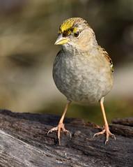 Golden-crowned Sparrow (aviac) Tags: birds bird californiabirds california morrobay morrobaystatepark stateparkmarina marina sanluisobispocounty nature sanluisobispobirds morrobayestuary estuary