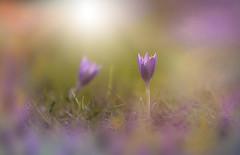 The First Crocus (KissThePixel) Tags: crocus macro makro nature purple mauve closeup light sunlight sunbeam flora winterflora winter february nikon nikond750 flower grass garden longacremanor sigma 28 f28 70200mm