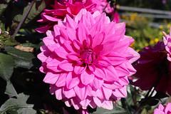 Vacances_0832 (Joanbrebo) Tags: mainau konstanz badenwürttemberg de deutschland flors flores flowers fiori fleur blumen blossom canoneos80d eosd autofocus