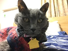 Argent on my Bed (sjrankin) Tags: 18february2019 edited animal cat argent tunic bed bedroom upstairs kitahiroshima hokkaido japan closeup portrait