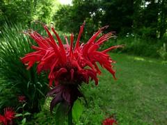 Bee Balm (jmunt) Tags: flower garden wildflower beebalm