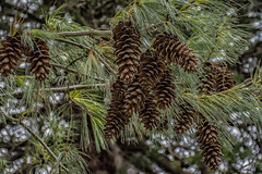 Anglesey Abbey 20th  Feb 2019 pine cones (Lisa missing Stella) Tags: anglesey abbey cambridgeshire national trust