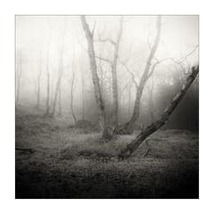 Birch Land (gerainte1) Tags: trees woodland woods mist winter blackandwhite yorkshire pancro400 hasselblad501