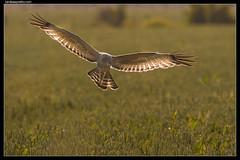 Spotted Harrier: Evening Run (birdsaspoetry) Tags: circusassimilis spottedharrier wtp