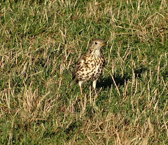 Mistle thrush in a winter field (Ian Robin Jackson) Tags: mistlethrush winter scotland meadow sony outside nature aberdeenshire thrush speckled