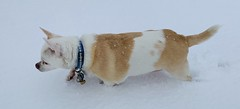 Chihusky (A Wild Western Heart) Tags: chein hond cane canine dog perro hund pet mojavedesert snowday adoptdon'tshop deafdogsrock rescue chihuahua misslilybelle