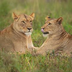 Lionesses / Leeuw (Wim Hoek) Tags: landroofdieren nature wildlife outdoor zimangagamereserve mammals leeuw afrika africa carnivora diereninhetwild lion natural naturalbeauty natuur pantheraleo predator naturalbackground uphongolonu kwazulunatal southafrica za