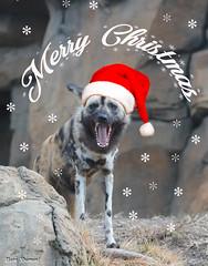 G08A1229-Edit.jpg (Mark Dumont) Tags: african dog painted zoo mark dumont mammal cincinnati