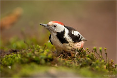 Middle Spotted Woodpecker on the ground (Gertj123) Tags: bird birdwatching animal avian arjantroost netherlands nature hide holterberg canon bokeh moss