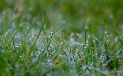 Dewy bokeh (Dan Elms Photography) Tags: dew grass bokeh garden february canon canon5dmkiii canon5d 5d 5dmkiii macro macrolens 100mm green