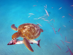 """Sharing A Fish Lunch With A Sea Turtle (James Patterson) Tags: caribbean """"westindies"""" """"seaturtle"""" turtle barbados"""