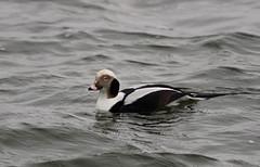 Long-tailed Duck _ Clangula hyemalis (Kremlken) Tags: ducks waterfowl birds birding birdwatching lakes ohio pennsylvania nikon500