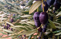 (ManuelAngel78) Tags: aceituna aceitunas olive olives