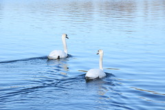 Swans (worldthroughalens74) Tags: swans waterbirds westportlake uk england staffs outdoors nature canon sigma water