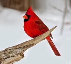 Red Alert (Meryl Raddatz) Tags: bird cardinal nature naturephotography red canada snow