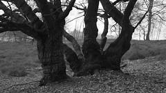 Survivors (nikjanssen) Tags: eik survivor tree nature natuurgebieddeteut oak heide heath explore treesdiestandingup