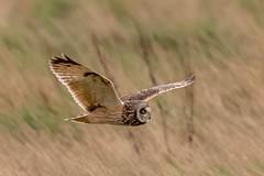 Owl series #3 (Trev Green) Tags: owl bird parkgate d500 nikon wirral