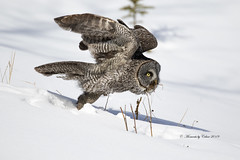 GGO Lift off (Canon Queen Rocks (2,800,000 + views)) Tags: greatgreyowl owls owl wildlife wings wild nature naturephotography raptors raptor eyes yelloweye snow bird birds birdofprey birdsofprey momentsbycelinecom