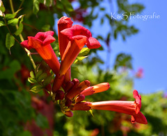 Sommer (K&S-Fotografie) Tags: blume pflanze sommer summer norpark park sky red blue green