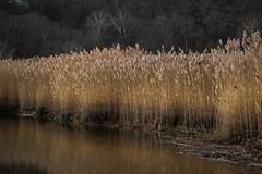 landscape (bidutashjian) Tags: landscape wetlands water plants phragmites reeds forest trees winter nikon d3500 hudson valley marsh ny bidutashjian