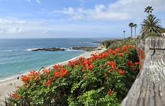 Treasure Island Beach (Bennilover) Tags: ocean california winter beach flowers capehoneysuckle lagunabeach treasureisland bluff rocks swimming