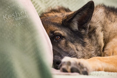 Picture of the Day (Keshet Kennels & Rescue) Tags: adoption dog ottawa ontario canada keshet large breed dogs animal animals pet pets field nature photography best friends play winter snow german shepherd sleep rest lay down comfy cozy comfortable warm blanket couch