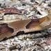 Copperhead Snake 5879