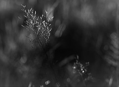grass in greyscale (EllaH52) Tags: nature grass bokeh macro greyscale monochrome blackwhite minimalism simplicity