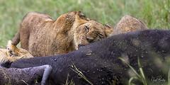 LION 7 (Nigel Bewley) Tags: tanzania africa wildlife nature wildlifephotography nigelbewley photologo appicoftheweek safari gamedrive lion pantheraleo simba maswagamereserve march march2019 bigcat kill hunt africanbuffalo capebuffalo synceruscaffer