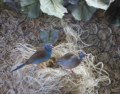 Little Beauties (grandmasandy+chuck) Tags: birds bluebreastedcordonbleu finch nest blue