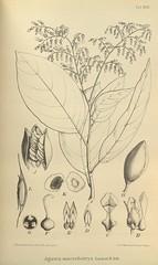 n649_w1150 (BioDivLibrary) Tags: botany melanesia papuanewguinea missouribotanicalgardenpeterhravenlibrary bhl:page=500578 dc:identifier=httpsbiodiversitylibraryorgpage500578 artist:name=gertrudbartusch