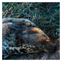 Snoozing wild Sun kissed mother seal (Mallybee) Tags: marinelife wildlife apsc mallybee xtrans xmount fujinon ois f284 1855mm xt3 fujifilm fuji lincolnshire nook donna grey pregnant mother seal wild animal outside new