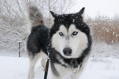 Husky dog Taiga (radimersky) Tags: husky dog taiga pet pies hunde animal siberianhusky haski sweet winter zima wintertime styczeń january portrait portret gimp blueeyes lumix dmclx100 lx100 panasonic micro 43 fourthirds snow snowing 3840x2560 snowdog nice