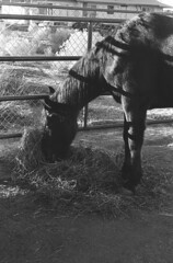Shadow Stripes (squirtiesdad) Tags: andy horse animal pet sun corral shadows hay selfdeveloped self scanned nikon fm epson v600 monochrome blackandwhite bw bn bwfp analog analogue arista iso100 35mm film