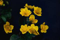 Gólyahír (Péter Vida) Tags: natural wesen springtime vorfrühling flower blume vegetable pflanze természet tavasz virág növény