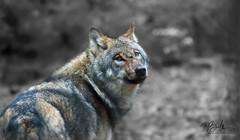 FRIEND (babsbaron ( Bella )) Tags: nature tiere animals säugetiere mammals raubtiere predators jäger hunter wolf wölfe wolves wildtier rudel tierpark wildpark lüneburgerheide canon grauwolf europäisch greywolf european