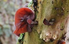 Colours of Spring (III): Judasoor (Elisa1880) Tags: paddenstoel mushroom fungus judasoor jews ear auricularia auriculajudae