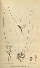 n655_w1150 (BioDivLibrary) Tags: botany melanesia papuanewguinea missouribotanicalgardenpeterhravenlibrary bhl:page=500584 dc:identifier=httpsbiodiversitylibraryorgpage500584 artist:name=gertrudbartusch
