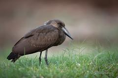 hamerkop (larslaguna) Tags: fåglar hamerkop scopusumbretta gambia skuggstork fågel