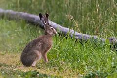 Wet hare with breakfast (Picturavis) Tags: feldhase lajen lepuseuropaeus säugetier europeanhare mammal tier animal dolomiten dolomites italien italy laion trentinoaltoadige picturavis