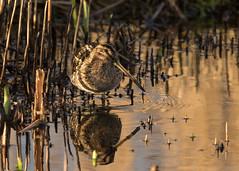 Snipe - Gallinago gallinago (Gary Faulkner's wildlife photography) Tags: snipe gallinagogallinago