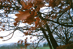 leaves (ericgrhs) Tags: winter tree baum leaves blätter countryside rural nature natur trees foliage laub disposablecamera einwegkamera singleusecamera