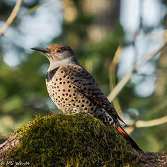 Flickr's Flicker Part 2 - the Awakening (SpyderMarley) Tags: woodpecker flicker oak tree moss saanich columbia wildlife nature fuji xt2