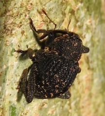 Cryptorhynchine weevil (Birdernaturalist) Tags: coleoptera costarica cryptorhynchinae curculionidae curculionoidea richhoyer